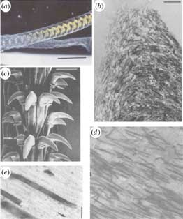 estructura de los dietes de lapa común (Patella vulgata)