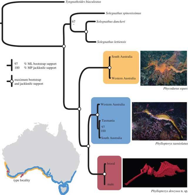 distribución de las tres especies de dragón marino
