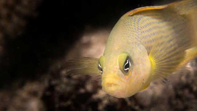 Dottyback (Pseudochromis fuscus)