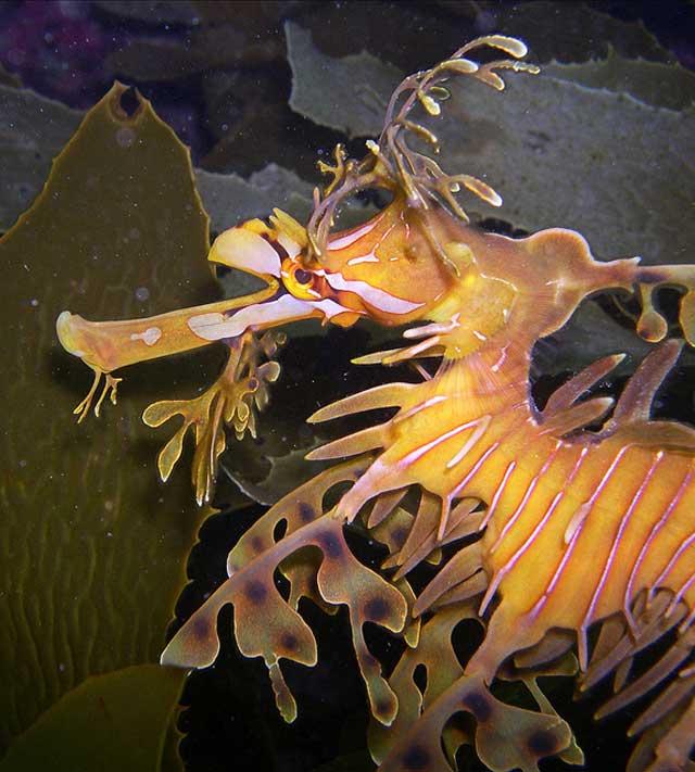 dragón de mar frondoso