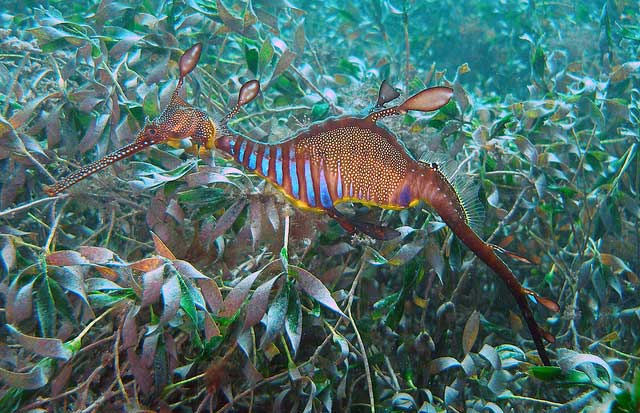 dragón marino común