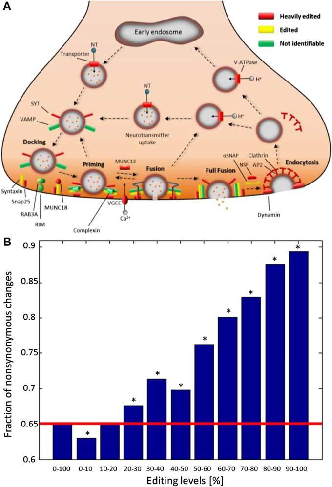 edición de ARN en el calamar