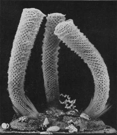 esponjas Venus cesta de flores (Euplectella aspergillum)