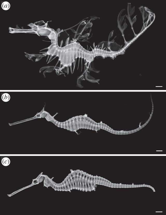 esqueletos de las tres especies de dragón marino