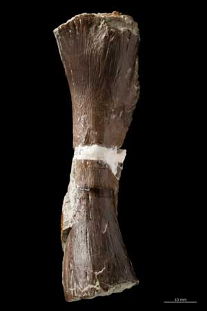 fémur del Metoposaurus algarvensis