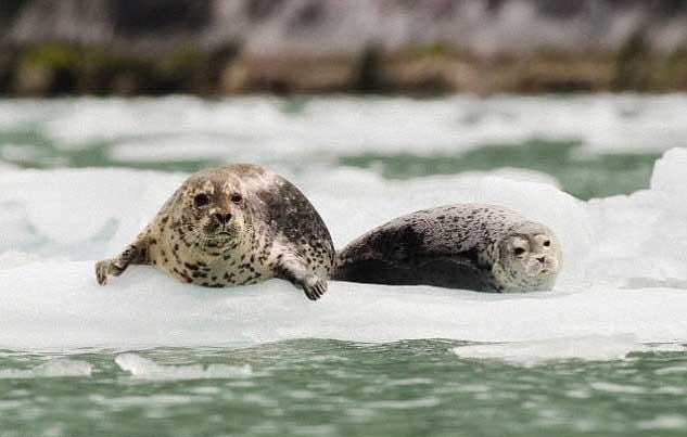 focas sobre el hielo marino en Alaska