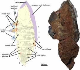 fósil de Aegirocassis benmoulae