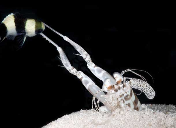 golpe del camarón mantis