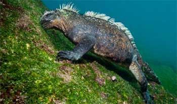 iguana marina de Galápagos pastoreando