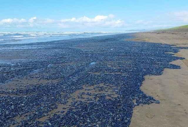 invasión de Velella velellas en costas de Estados Unidos