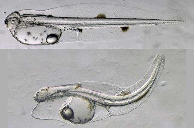 larvas de atún de aleta amarilla