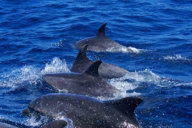 manada de delfines mulares