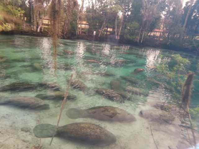 manatíes en un manantial termal de Florida
