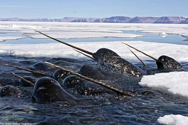 narvales entre el hielo del Ártico