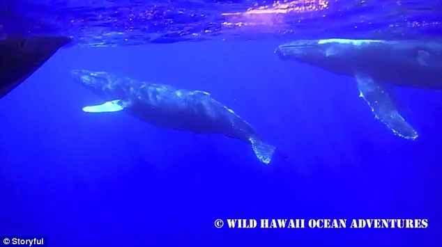 observación de ballenas en Hawái