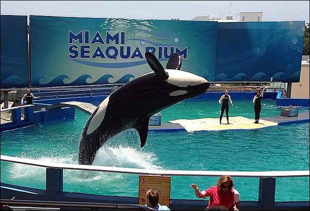 orca Lolita en el Miami Seaquarium