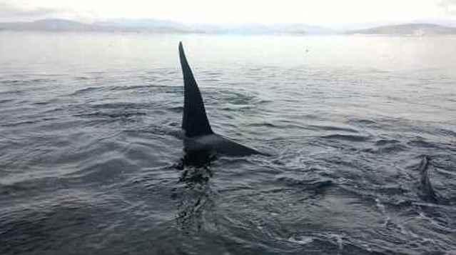 orcas se frotan el vientre con las piedras de una playa
