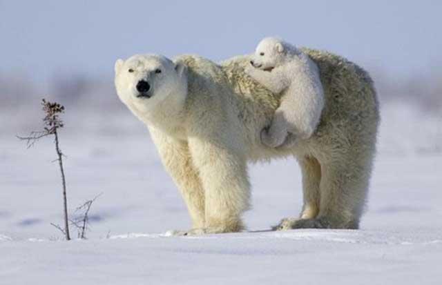 osa polar y su cría
