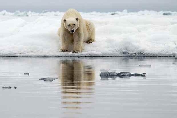 osa polar en Svalbard
