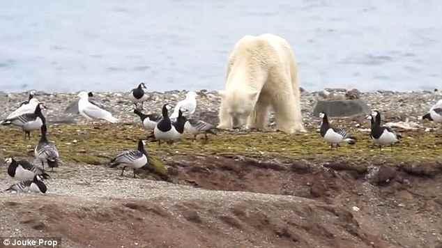 oso polar come huevos de nidos de aves marinas