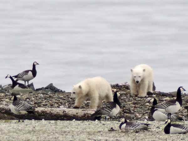 osos polares comen huevos de nidos de aves marinas