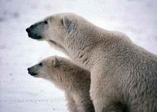 pareja de osos polares