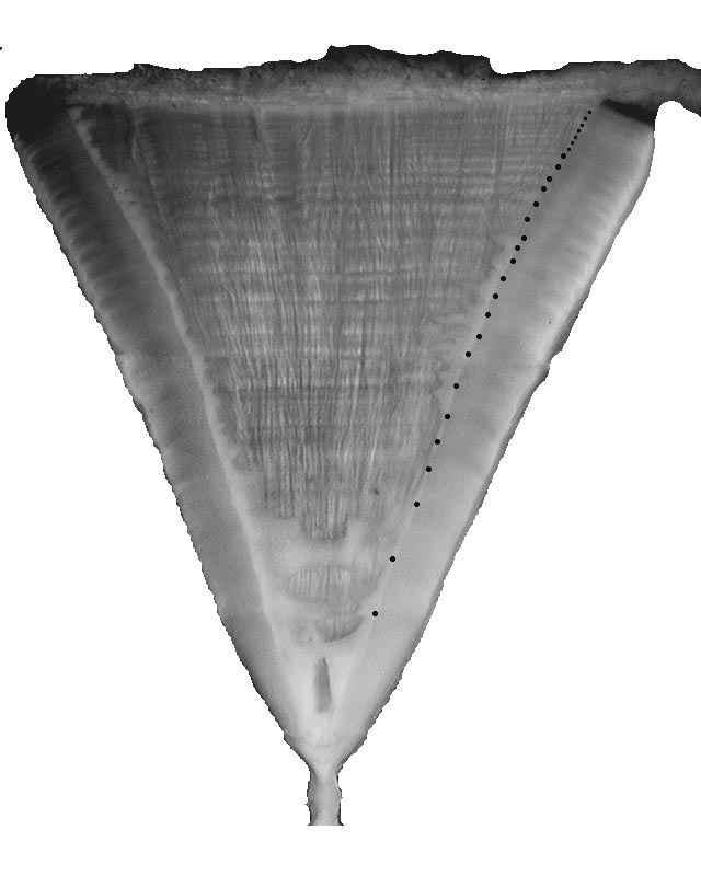 pares de bandas en el tiburón blanco