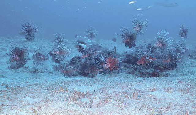manada de peces león en el Caribe