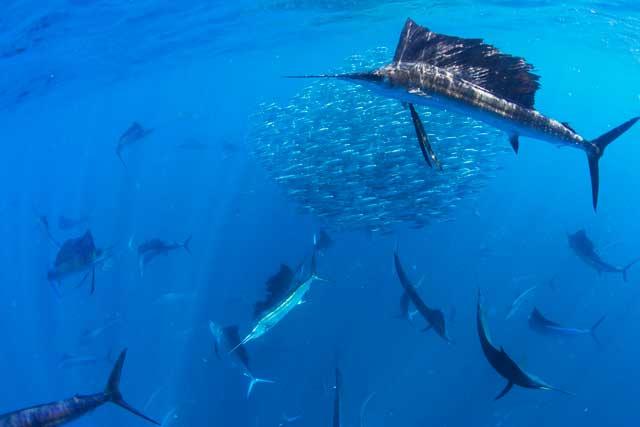 peces vela cazando una bola de peces cebo