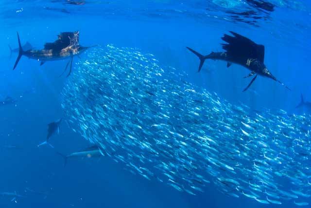 peces vela cazando una bola de cebo
