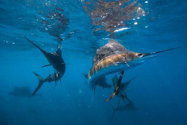 peces vela cazando
