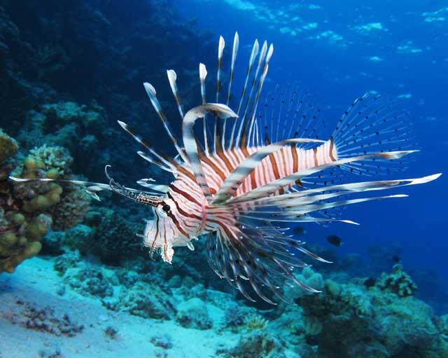 pez león común (Pterois millas)