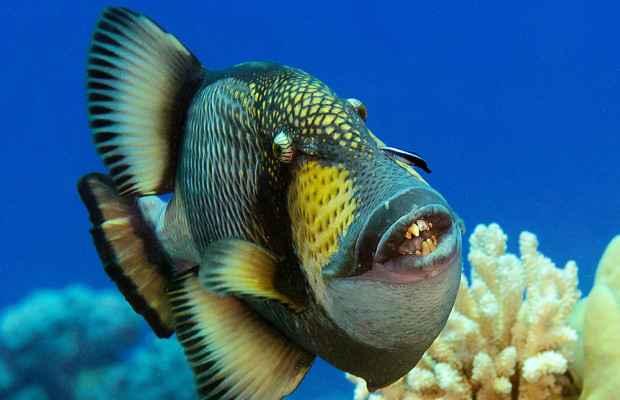un pez loro en las Islas Pitcairn