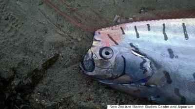 pez remo varado en Nueva Zelanda