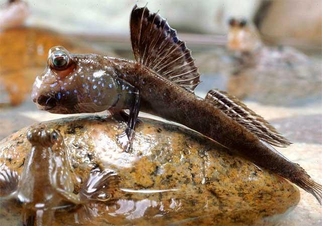pez saltarín del fango (Periophthalmus barbarus)