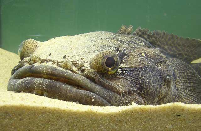 pez sapo lusitano (Halobatrachus didactylus)