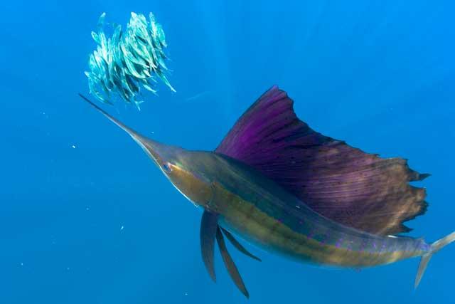 pez vela cazando una bola de cebo