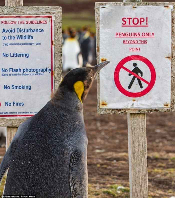 pingüino dentro de campos de minas en las Malvinas