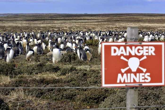 pingüinos dentro de campos de minas en las Malvinas