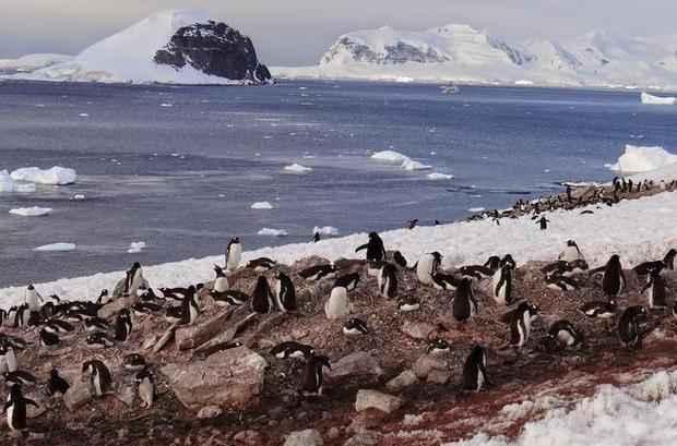 pingüinos consumiendo krill