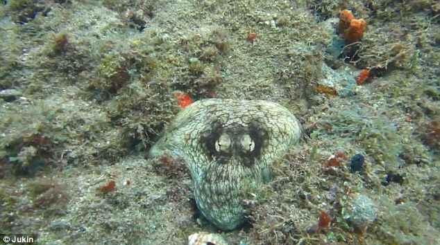 pulpo camuflado en un arrecife se deja ver