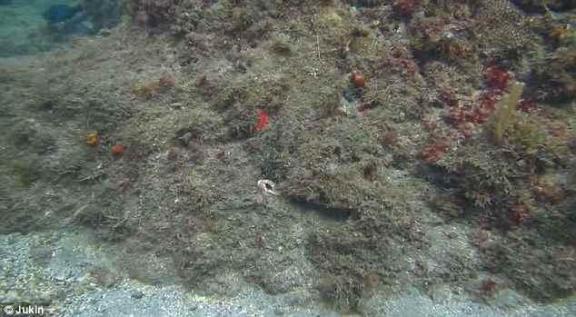 pulpo camuflado en un arrecife es invisible