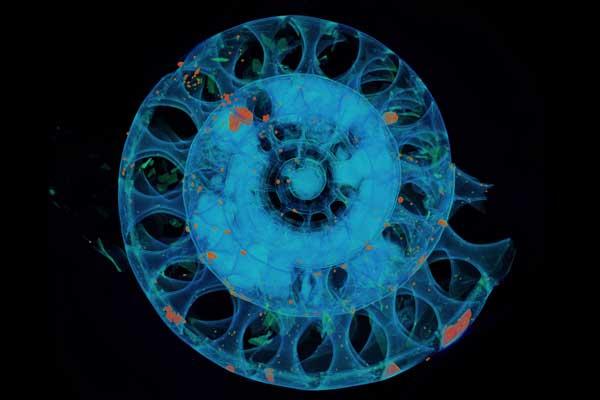 radiografía de un ammonite