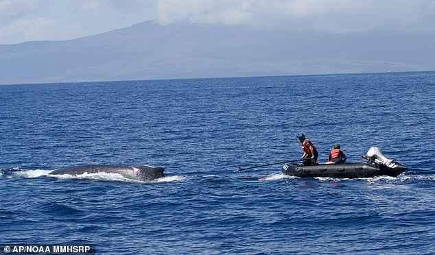 rescate de una ballena en Hawái