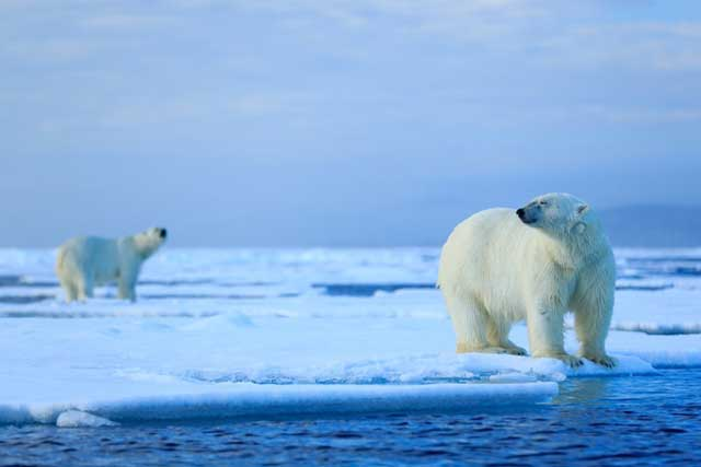 sexo de los osos polares