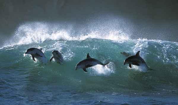 delfines surfeando