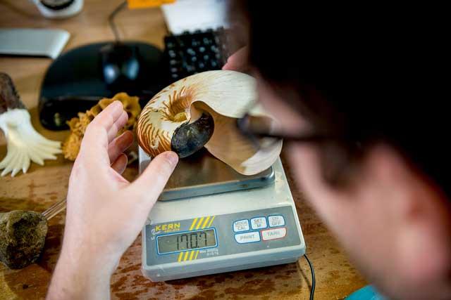 TC de un ammonites
