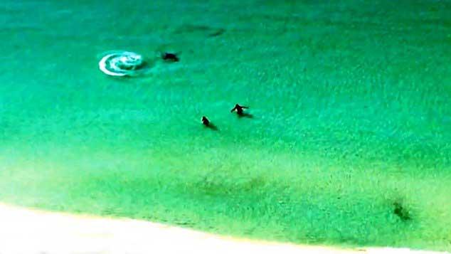 tiburón martillo cerca de bañistas en la playa