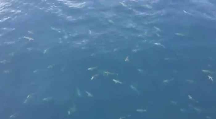 cientos de tiburones frente a la costa de Luisiana