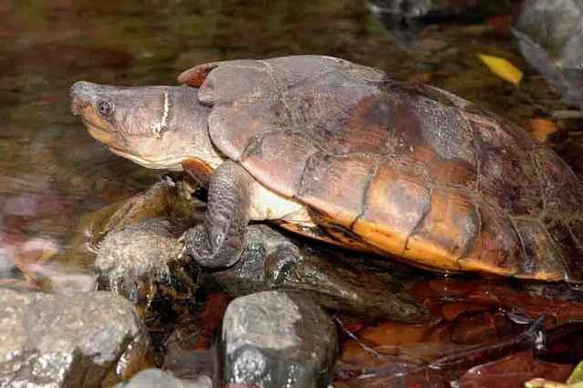 tortuga de bosque de Palawan